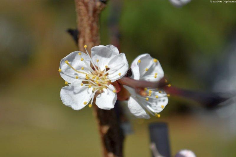 21_aprikose