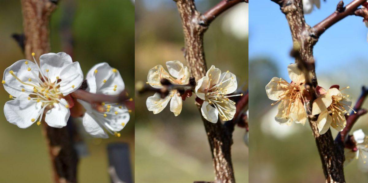 Aprikosenblüte vor und nach einer, bzw. zwei Frostnächten (Foto: Andreas Oppermann)